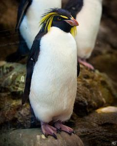Moseley's Rockhopper Penguin