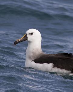 Yellow-nosed Albatross (Atlantic)