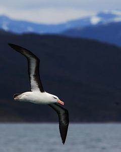 Black-browed Albatross (Black-browed)