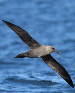 Sooty Albatross