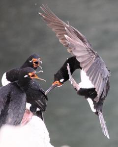 cormorant sp.