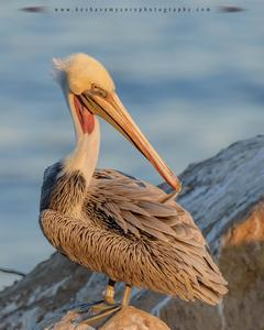 Brown Pelican (California)
