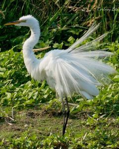 Great Egret (American)
