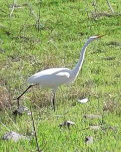 Great Egret (American)