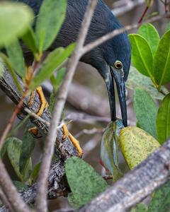 Striated Heron (Galapagos)