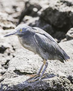 Striated Heron (Galapagos)