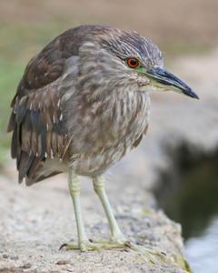 Black-crowned Night-Heron (American)