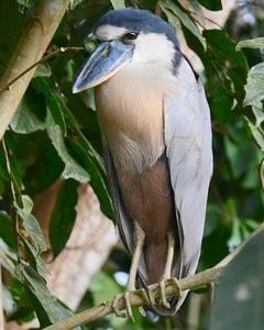 Boat-billed Heron (Northern)