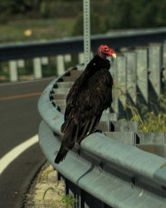 Turkey Vulture (Northern)