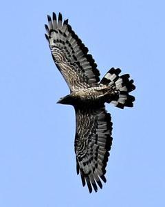 Oriental Honey-buzzard