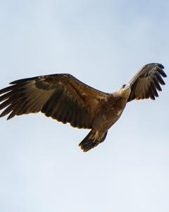 Sanford's Sea-Eagle