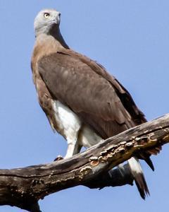 Gray-headed Fish-Eagle