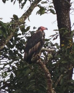 Red-headed Vulture
