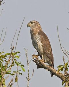 Fasciated Snake-Eagle