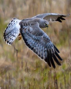 Hen/Northern Harrier