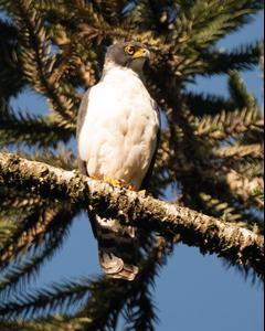 Gray-bellied Hawk