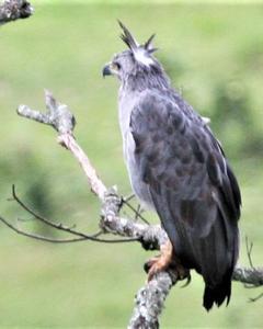 Chaco Eagle