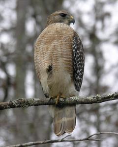 Red-shouldered Hawk (extimus)