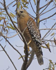 Red-shouldered Hawk (elegans)