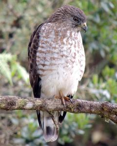 Broad-winged Hawk (Northern)