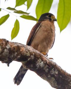 Seychelles Kestrel