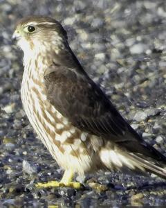 Merlin (Taiga)