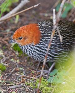 Striped Flufftail