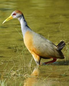 Russet-naped/Gray-cowled Wood-Rail
