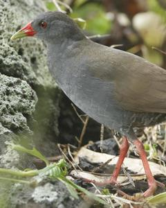 Paint-billed Crake