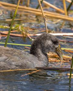 coot sp.