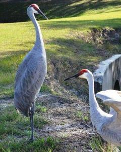 Sandhill Crane (pratensis)