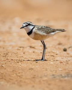 Madagascar Plover