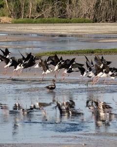Black-necked Stilt (Black-necked)