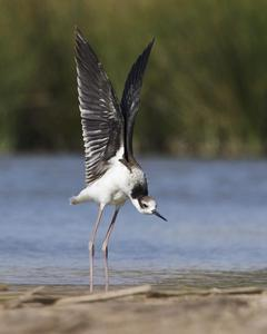Black-necked Stilt (White-backed)