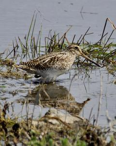 South American Snipe (Magellanic)