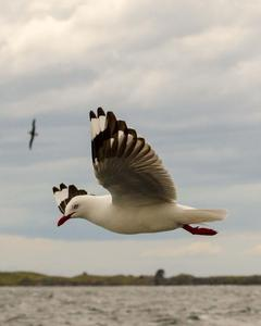 Silver Gull (Red-billed)
