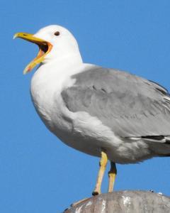 Caspian Gull