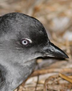 Cassin's Auklet