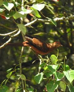 Ruddy Cuckoo-Dove