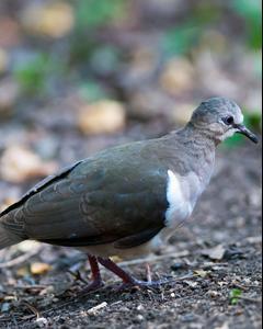 Grenada Dove