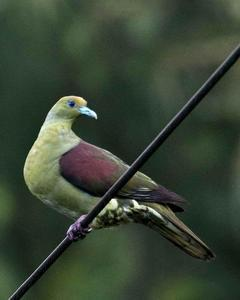 Whistling Green-Pigeon