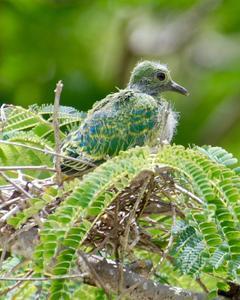 Mariana Fruit-Dove