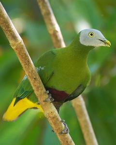 Gray-headed Fruit-Dove
