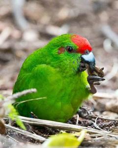 Norfolk Island Parakeet
