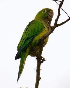 Olive-throated Parakeet
