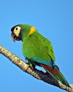 Yellow-collared Macaw
