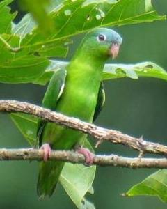 Amazonian Parrotlet