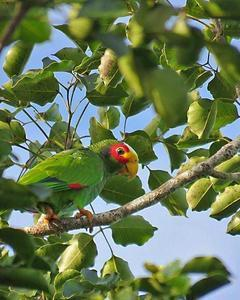 Yellow-lored Parrot