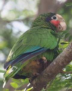Cuban Parrot (Cayman Is.)