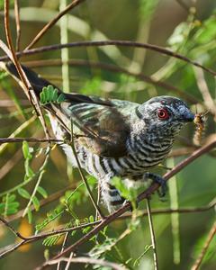 Little Bronze-Cuckoo